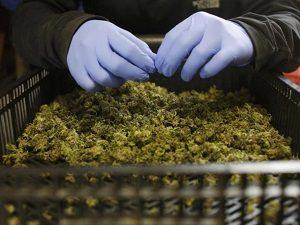 Калифорнийский рынок марихуаны «немного» перенасыщен